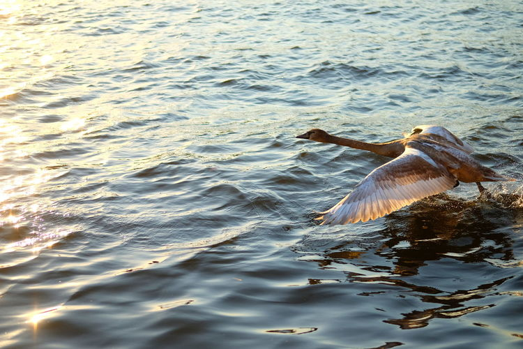 Water Animal Themes Animal Animal Wildlife Animals In The Wild Vertebrate One Animal Waterfront Sea Nature Flying Motion Rippled Day Bird No People Spread Wings Swimming Outdoors Marine