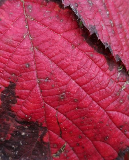 red leaf Full