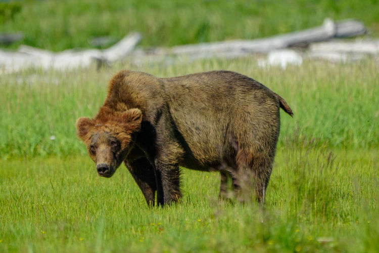 Brown bear standing in a field