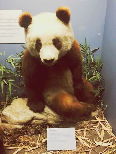 Field Museum Field Museum Of Chicago Panda Museum Field Trip Bamboo Animal Themes Animal Wildlife Giant Panda Nature Close-up Panda - Animal Animal Mammal Day No People Pandaparty Exhibit  Museum Photography Neat Neat Places Out And About Goodvibes Nature Animals In The Wild