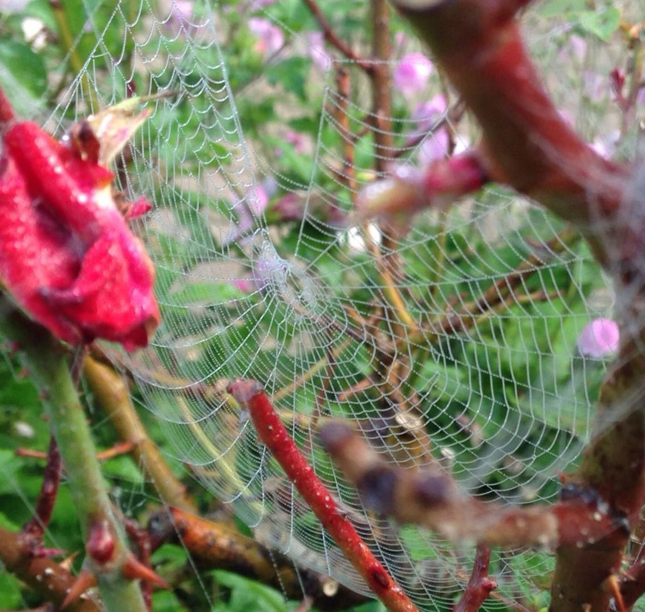 spider web, nature, spider, close-up, focus on foreground, day, growth, web, beauty in nature, fragility, no people, outdoors, plant, trapped, animal themes, freshness