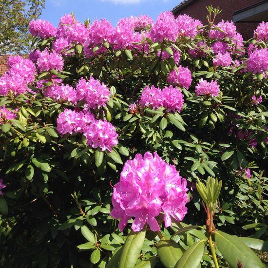 Rhododendron-Blü