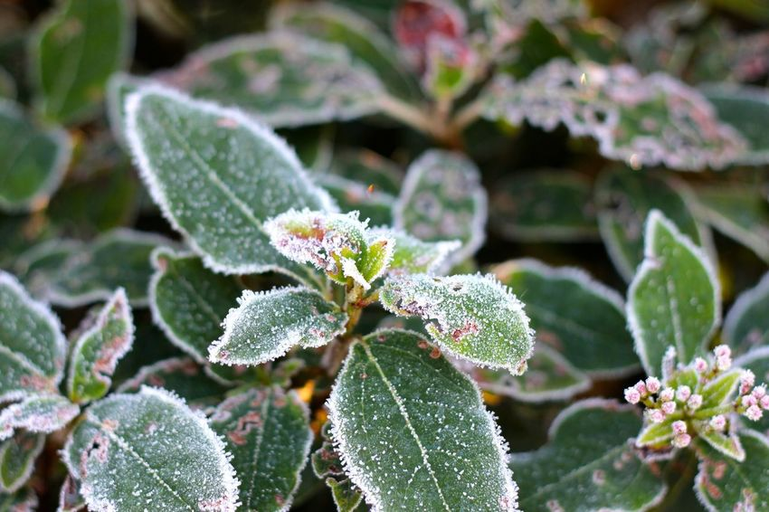 frosty winter morning in the park Beauty In Nature Close-up Cold Temperature Day Flower Flower Head Fragility Freshness Green Color Growth Leaf Nature No People Outdoors Plant Winter
