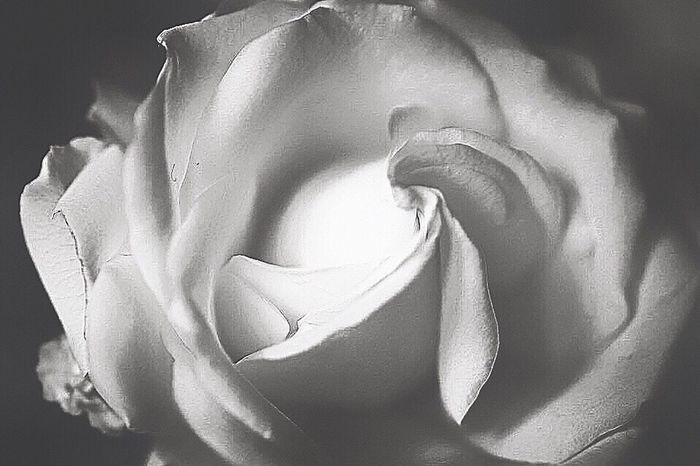 Shades of Gray Flower Petal Flower Head Fragility Rose - Flower Nature Freshness Beauty In Nature Botany No People Close-up Blossom Softness Backgrounds Plant Growth Rose Petals Peony  Day Outdoors Blackandwhite Photography