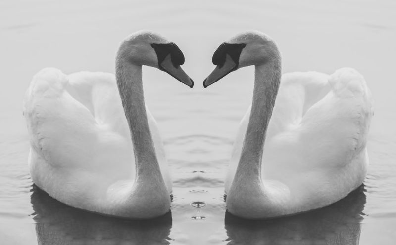 swan love Beak Beauty In Nature Black And White Blackandwhite Close-up Day Flamingo Focus On Foreground Lake MuteSwan Nature No People Outdoors Pelican Rippled Swan Swan Lake Swans Swans ❤ The Great Outdoors - 2016 EyeEm Awards Thegreatoutdoors-2016eyeemawards Tranquility Water Water Bird