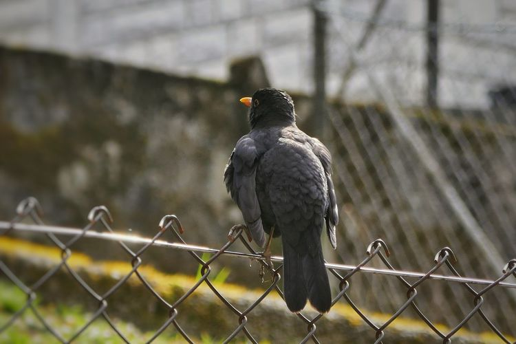 Black bird EyeEm Selects Bird Prison Protection Barbed Wire Safety Chainlink Fence Razor Wire Fence Bird Of Prey Security Vulture