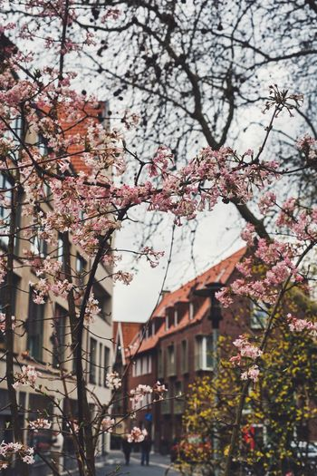 Tree Plant Flower Flowering Plant Building Exterior Springtime Architecture Fragility Blossom Freshness Built Structure Branch Nature Growth Cherry Blossom Beauty In Nature Cherry Tree Day Building Pink Color Outdoors No People Spring