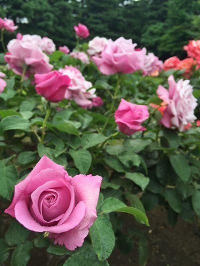 Tokyo,Japan Flowers Beautiful Roses Tokyo Happy My Favorite