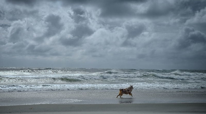 Australian Shepherd  Beauty In Nature Dog Dog On Beach Island. Seashore. National Seashore. Nature Wild. Beauty. Sand Ocracoke Outdoors Red Merle Seascape Sky Vacations Wave