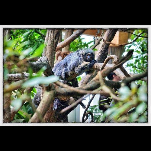 Affe Ape Saki Zoo krefeld