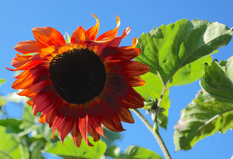 Vivid Beauty In Nature Blooming Clear Sky Close-up Day Flower Flower Head Fragility Freshness Green Color Growth Justtheflower Leaf Nature Orange Color Outdoors Petal Plant Sky Sunflower