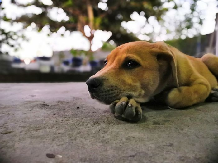 Dog Beagle Pets