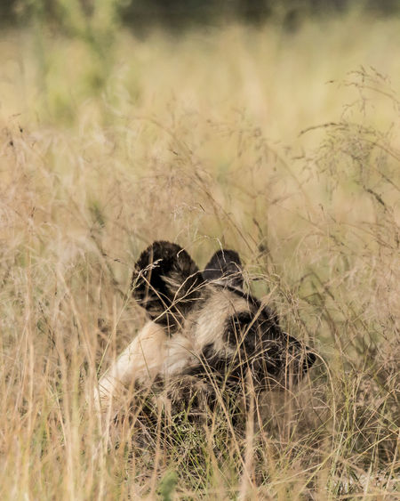 Mammal No People Grass Nature Wild Dog Painted Wall Africa Beauty In Nature Wildlife Wildlife Photography Animal Animal Themes Animals In The Wild Animal Wildlife Vertebrate Land Field One Animal Plant Day Selective Focus Bird Outdoors Young Animal Cat
