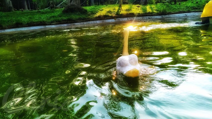Sunlight Light And Shadow Sunset Reflections In The Water Water Tree Reflection High Angle View Waterfront Swan Floating On Water White Swan Swimming Animal Mute Swan Lake Floating In Water Calm Lakeside Rippled Water Bird Floating Standing Water Animal Neck Cygnet Growing