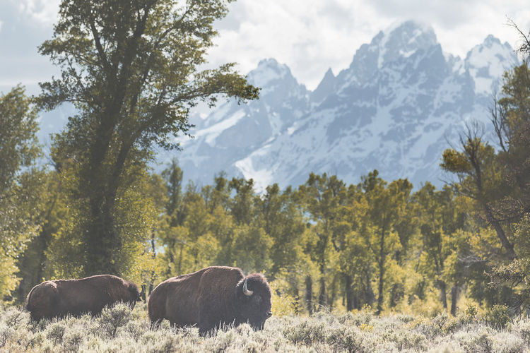 Bison grazing in a field, the Tetons in the background, Jackson, Wyoming. Tree Mammal Animal Themes Animal Mountain Beauty In Nature Domestic Animals Livestock Field Group Of Animals Animal Wildlife Outdoors Herbivorous Landscape Animals In The Wild Yellowstone Jackson Wyoming Bison Buffalo Grazing EyeEmNewHere