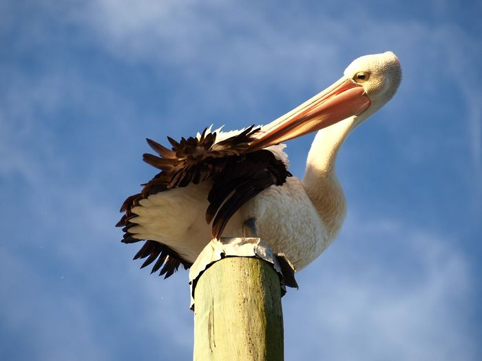 Pelican perched on capped pole fluffing himself Animal Themes Beak Bird Bird Bathing Birds Feathers Large Birds Pelican Perch Perching Side View Spread Wings Water Birds Wildlife A Bird's Eye View