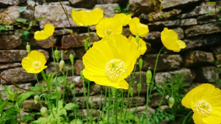 Poppy Poppies  Poppy Flowers Yellow Poppies Yellow Poppy Garden