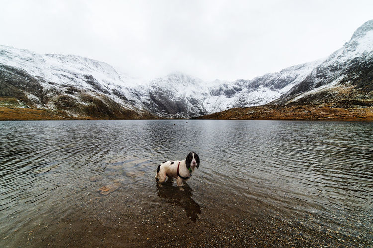 Portrait of english cocker spaniel standing in lake against clear sky during winter