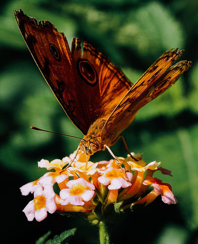 Butterfly drinking from a flower Butterflies Butterflies And Moths Butterfly Butterfly ❤ Close-up EyeEm Butterflies  EyeEm Nature Lover Fragility Insect Nature Nature No People One Animal Butterfly And Flowers Lepidoptera