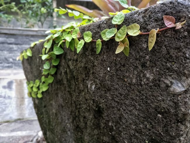 Growth Green Color Plant Outdoors Nature Day No People Tree Trunk Moss Ivy Beauty In Nature Close-up Freshness Leaf