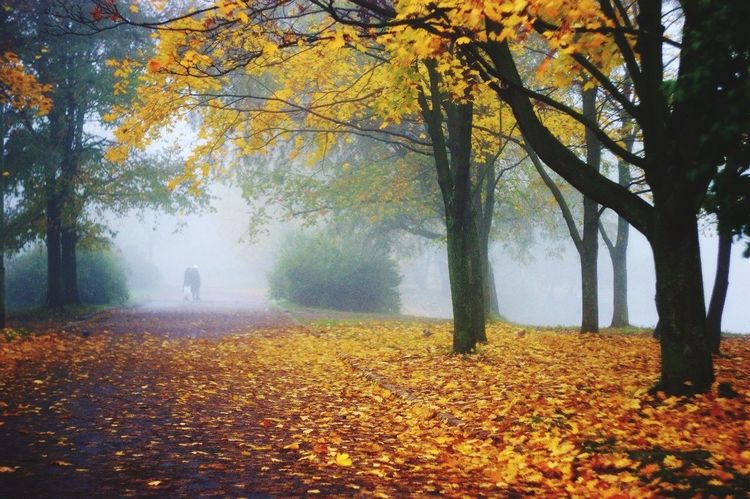 Autumn Change Tree Season  Leaf Tranquility Yellow Tree Trunk Leaves Branch Beauty In Nature Fog Scenics Tranquil Scene Nature Fallen Day Park - Man Made Space Growth Foggy