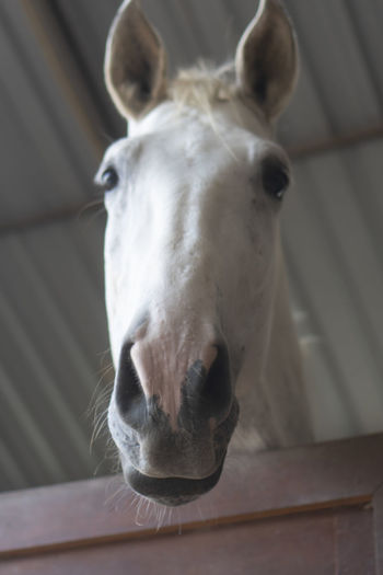 Horse White Stable Portrait Cage Isolated Beautiful Barn HEAD Equine Brown Animal Rural Farm Stallion Mare Nature Show Western Behind Face Pony Purebred Champion Beauty Thoroughbred Affectionate Characters Pets Arab Ranch Riding Arabian Equestrian Harness Bridle Inquisitive Foal Gelding One Fun Outdoors Outside Domestic Pasture Curious Bars Stables Stall