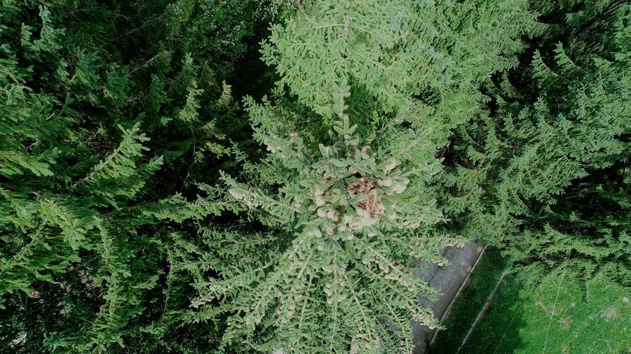 Aerial Photography Picea Abies Aerial View Backgrounds Full Frame High Angle View Close-up Green Color Growing Blooming Plant Life Fragility