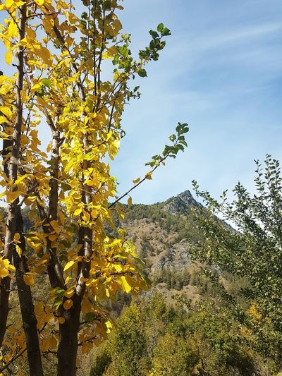 Tranquility Silence Autumn Autumn Colors Autumn Leaves Yellow Color Travel Destination Nature Mountain Range Mountain Peak Valle Varaita Nature Outdoors No People Beauty In Nature Day Tree Sky Growth Low Angle View Mountain Freshness Close-up