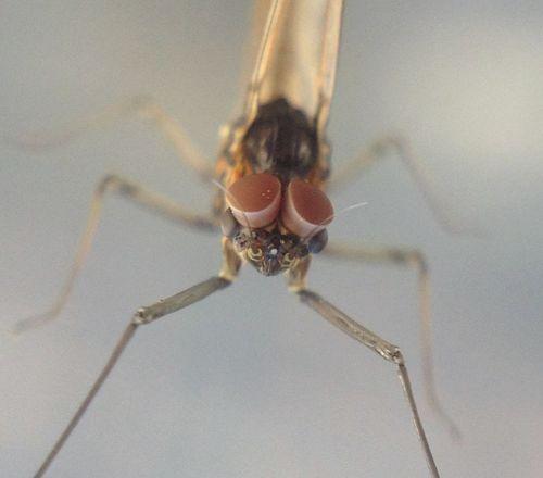 Macro Olloclip Insects  Mayfly