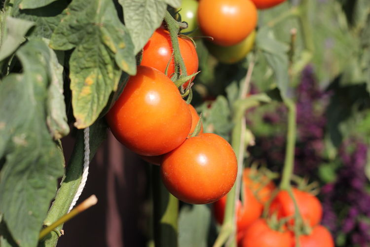 Close-up of tomatoes on plant