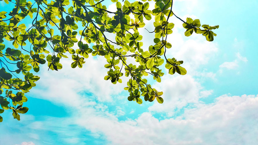 Vintage Light And Shadow Growth Refreshment Blue Sky And Clouds Low Angle View Green Beach Island Seaside Bengal Almond Sea Almond Indian Almond Plant Spreading Terminalia Catappa Tree Cloud - Sky Nature Leaf Beauty In Nature Branch Scenics Sunlight Day Tranquility Outdoors Travel Summer No People