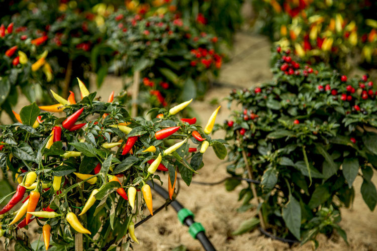 Hot Beauty In Nature Chilli Condiment Day Freshness Growth Nature No People Outdoors Plant