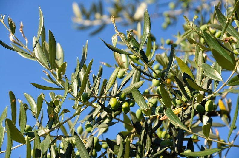 Low angle view of olives growing on tree against sky