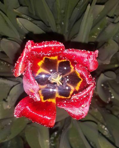 Волшебно! Не правда ли? А это дождь и вспышка в дуэте творят такие чудеса. И я вот думаю, иногда достаточно найти то чего тебе не хватает и можно вместе со своей недостающей частичкой создавать прекрасное и вдохновлять друг друга. Тюльпаны Тюльпан – цветок любви и весеннего обновления Это яркий, но в то же время нежный цветок ассоциируется в нашем сознании с весной, теплом и солнцем. Он отличается элегантностью форм и изысканностью линий. Своей ослепительной красотой тюльпан способен разбудить самые лучшие чувства в душе каждого человека. Он символизирует обновление и оживление как самой природы, так и человеческих ощущений. запискисумасшедшего Saradyuss