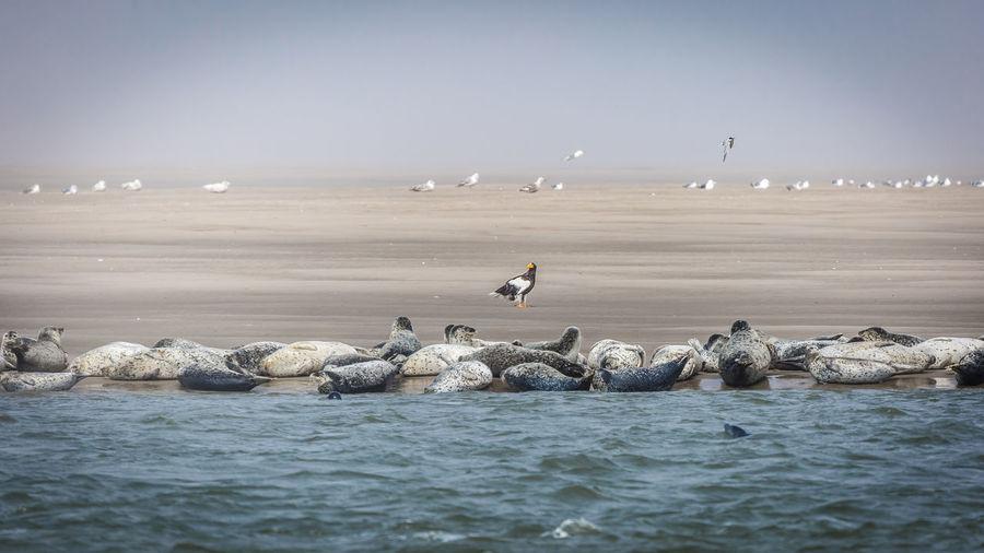 Seals on beach against sky