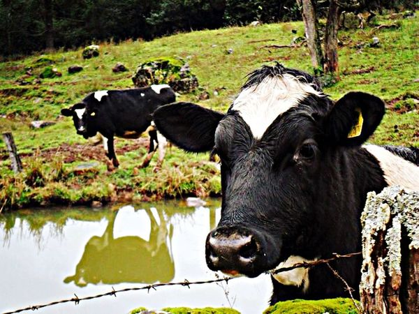 Selfie cow Nature Nova Petrópolis EyeEm Nature Lover Farm Life Animal_collection Traveling