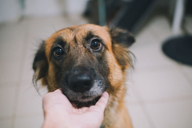 Lovely Good Girl  Happy Dog Golden Dog Brown Dog Paws Human Hand Pets Portrait Dog Holding Looking At Camera Close-up Snout Animal Nose Animal Face Animal Ear Animal Eye Animal Body Part Animal Head  Pampered Pets Adult Animal Animal Mouth Animal Hair At Home Pet Owner