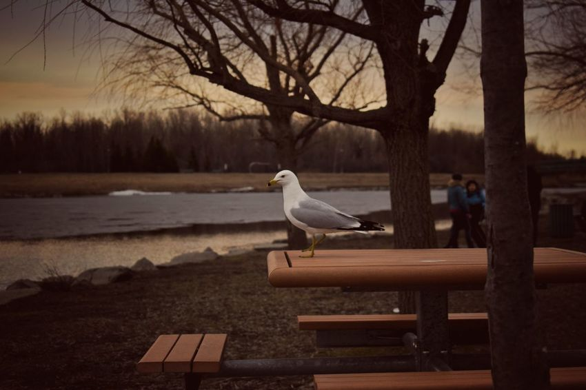 Bird Animal Wildlife Animal Themes Outdoors Sunset Summer Seagull Animals Live For The Story The Great Outdoors - 2017 EyeEm Awards