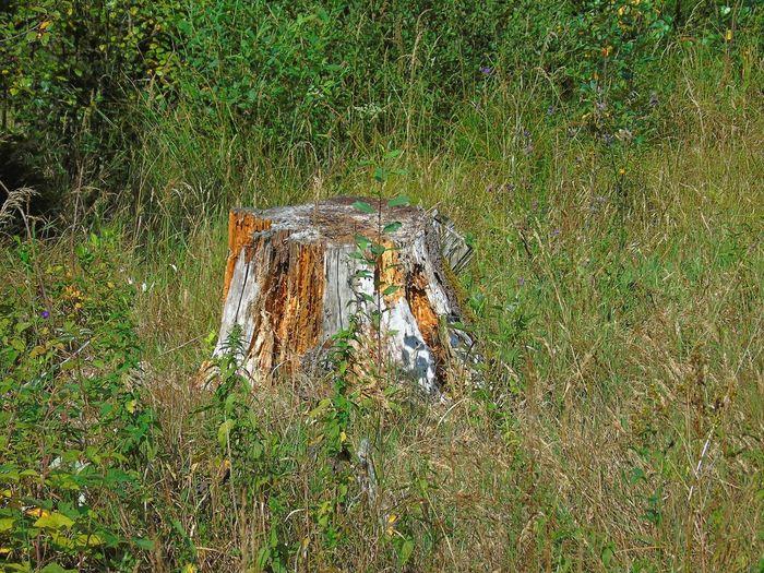 Old Stub/stump