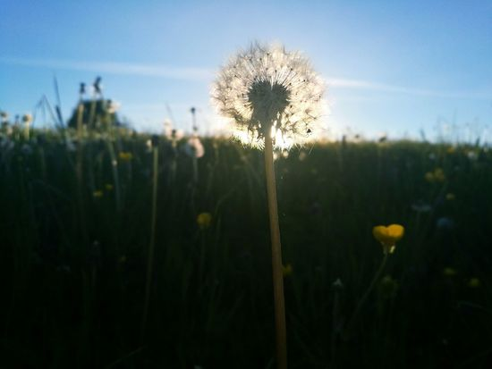 Plant Flower Sunset Flower Head Nature Dandelion Evening Beautiful Day Fluffy