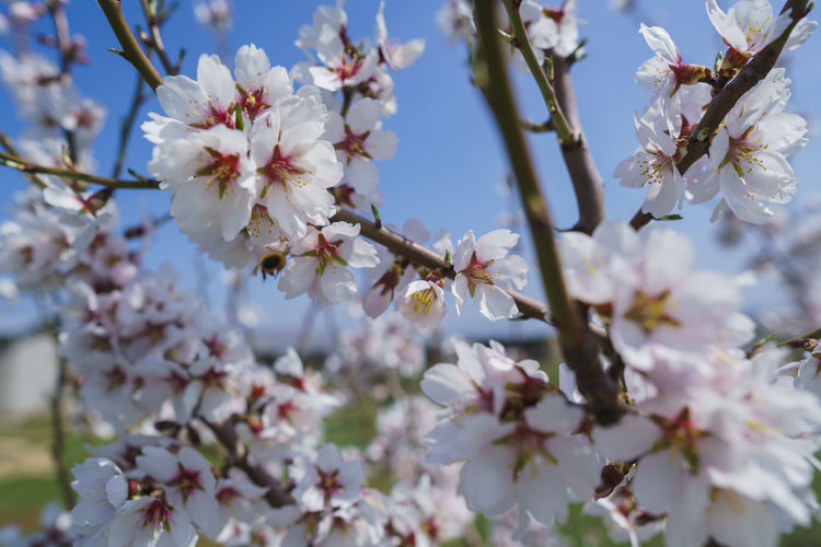 Flower Flowering Plant Plant Fragility Vulnerability  Freshness Growth Beauty In Nature Petal Tree Springtime Branch Blossom Close-up Cherry Blossom Nature White Color No People Twig Day Pollen Flower Head Cherry Tree Outdoors Spring