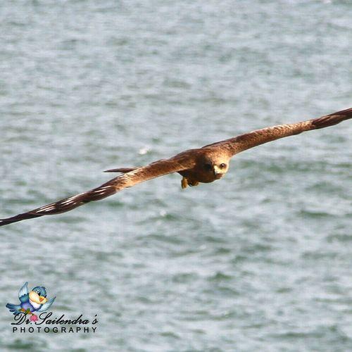 Black Kite One