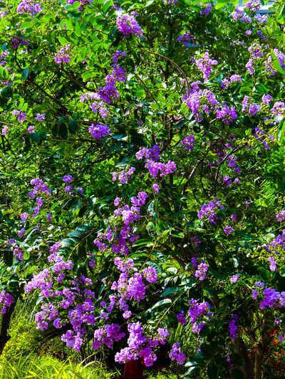 BEAUTIFUL NATURE Purple Blossoms Flower Backgrounds Full Frame Multi Colored Close-up Plant Green Color Green Greenery Flora Vegetation Foliage Blossoming  Spring Plant Life In Bloom Blooming Lush Leaves
