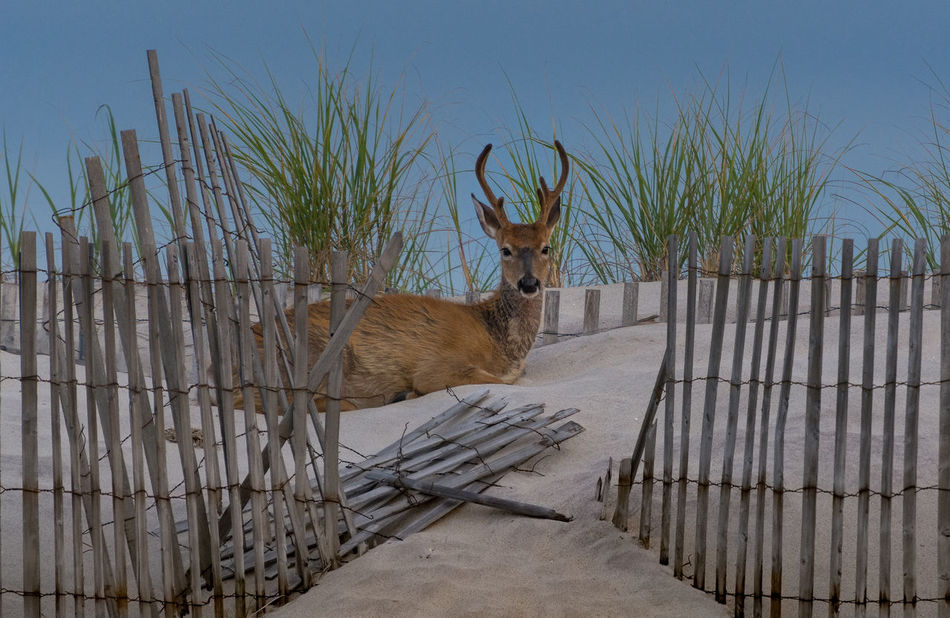 Met this guy in the back of the dunes on Fire Island National Park Dunes Fire Island NY National Park Animal Themes Animals Animals In The Wild Day Deer, Doe, Dunes, Beach, Mammal Nature No People One Animal Outdoor Photography Outdoors Fresh On Market 2017