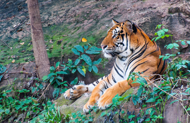 Close-up of tiger against plants