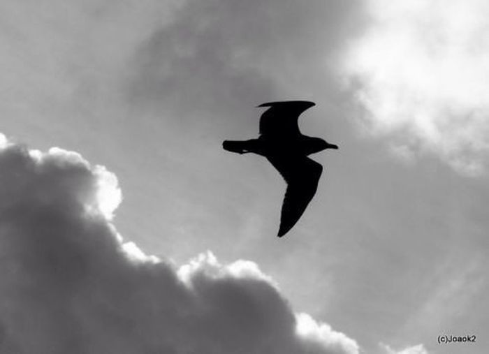 Flying Seagulls Bw_collection