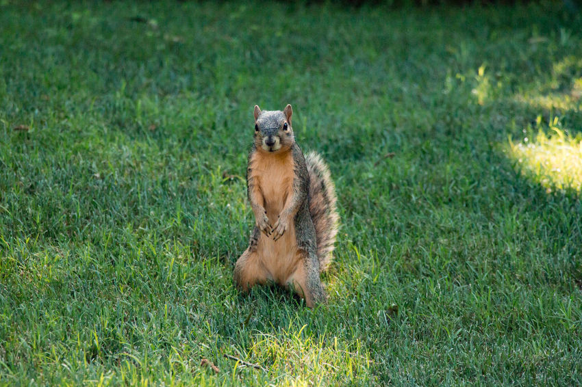 Squirrel striking a pose Animal Animal Themes Animal Wildlife Animals In The Wild Day Domestic Domestic Animals Field Grass Green Color Land Mammal Nature No People One Animal Pets Plant Portrait Sitting Vertebrate
