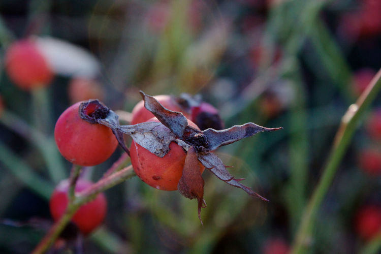Rose Hip Food Growth Plant Red Close-up Beauty In Nature Plant Part Outdoors Fruit