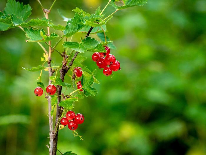 Beeren Nature Redcurrant Berry Berry Fruit Close-up Daylight Forest Früchte Johannisbeere No People