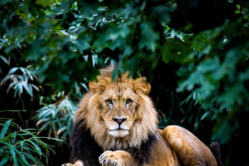 Portrait of lion sitting against plants